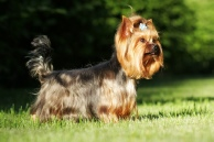 crestwood, acres, kennels, dog, breeder, yorkie, crestwood acres, kennel, lyons, ny
